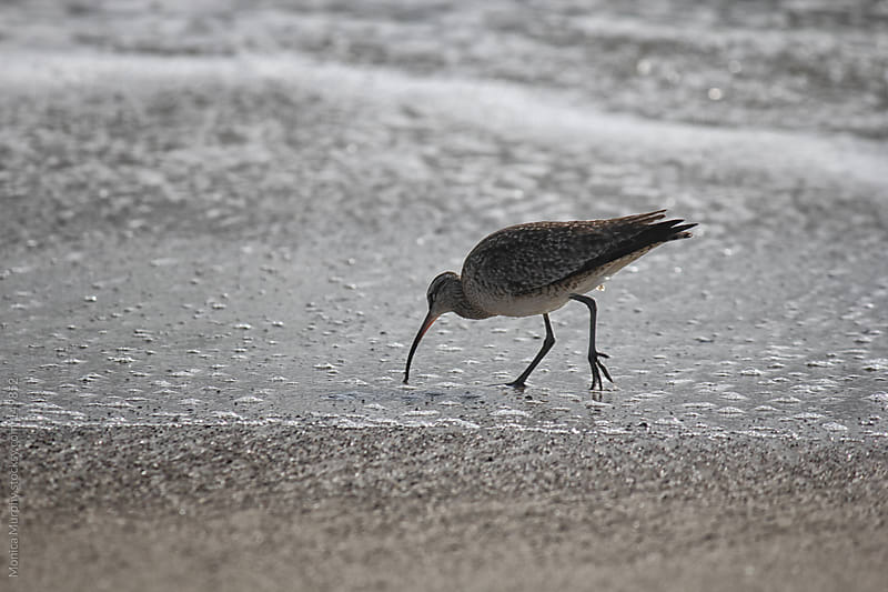 Sandpiper nibbling at the sand on the beach by Monica Murphy for Stocksy United