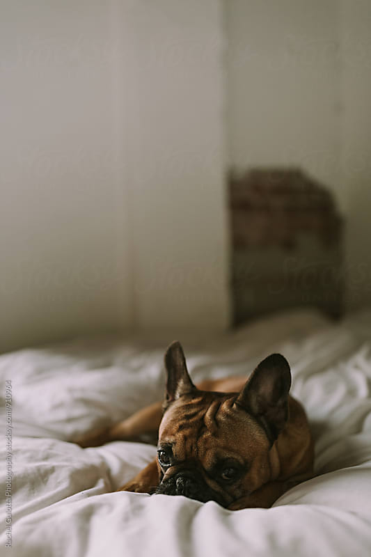 French Bulldog Laying on White Bed in Bedroom by Rachel Gulotta Photography for Stocksy United