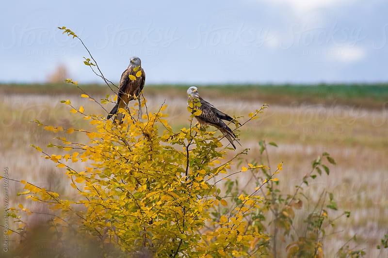 Red kites (Milvus milvus) by Gabriel Ozon for Stocksy United