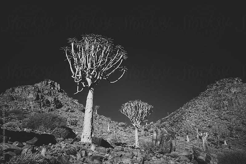 African Quiver Trees in the desert by Micky Wiswedel for Stocksy United