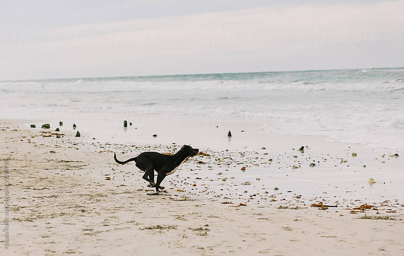 Dog playing on a beach,fetching by Natasa Kukic for Stocksy United