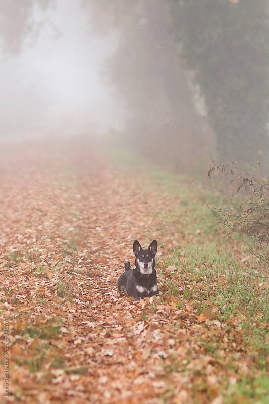 Little crossbreed dog laying on a carpet of fallen leaves in foggy countryside by Laura Stolfi for Stocksy United