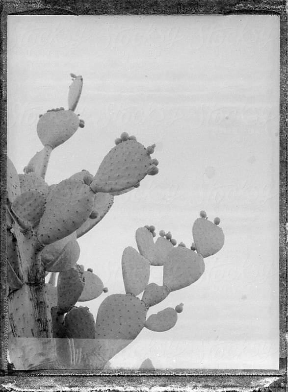 Black and White Cactus on Old Polaroid Film by Briana Morrison for Stocksy United