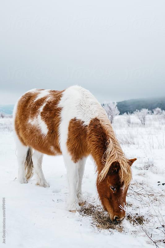 Grazing Pony by Joe Dodd for Stocksy United
