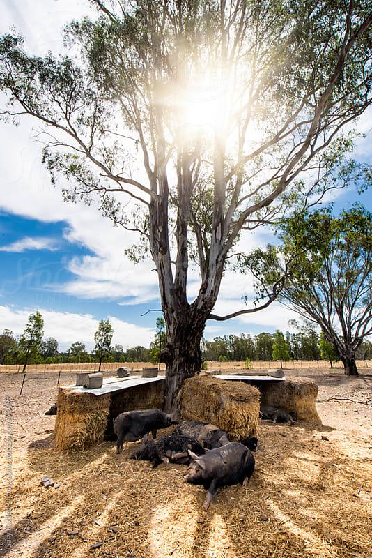 Free-range Pig Farm, Australia by Gary Radler Photography for Stocksy United