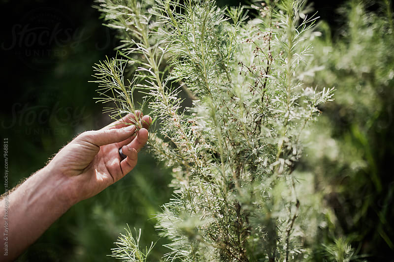 Man's hand picking an herb from it's bush by Isaiah & Taylor Photography for Stocksy United