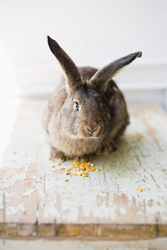 Bunny eating corn by Jovana Rikalo for Stocksy United