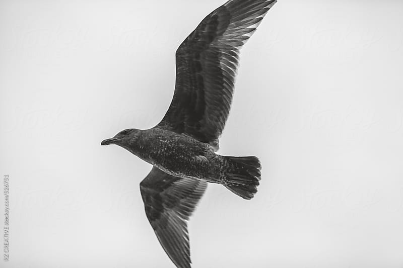 Black and white image of a seagull in flight. by RZ CREATIVE for Stocksy United
