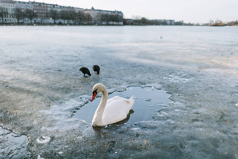 Swan on Ice by Zocky for Stocksy United