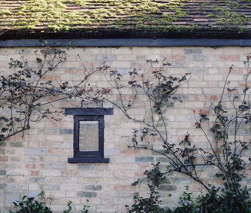 Wall, window, climbing plants. by Helen Rushbrook for Stocksy United