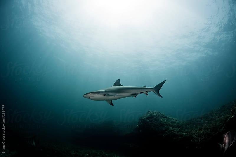 Caribbean Reef Shark in the Sun by Shane Gross for Stocksy United