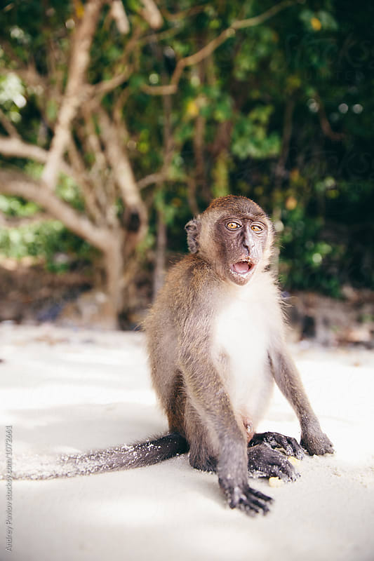 Monkey with open mouth on beach by Andrey Pavlov for Stocksy United