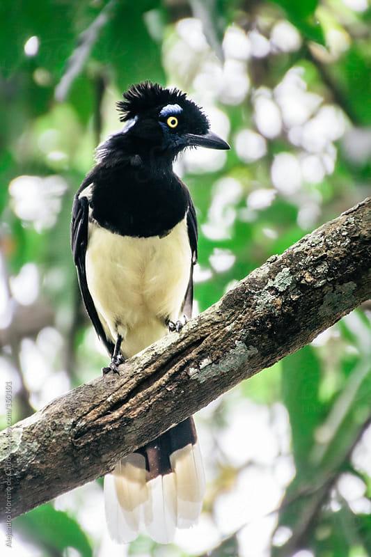Tropical bird in Brazil, Plush crested jay, Cyanocorax chrysops by Alejandro Moreno de Carlos for Stocksy United