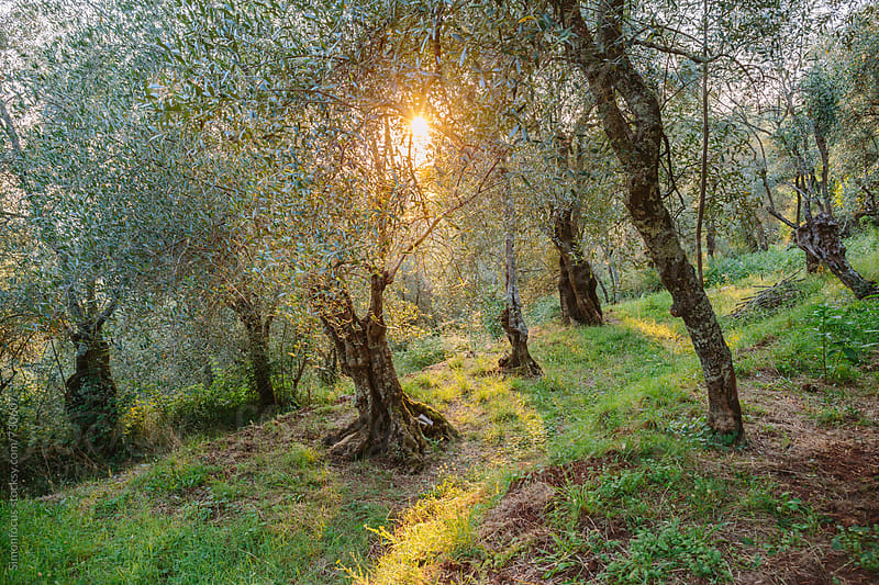 Tuscan olive grove by Simon DesRochers for Stocksy United