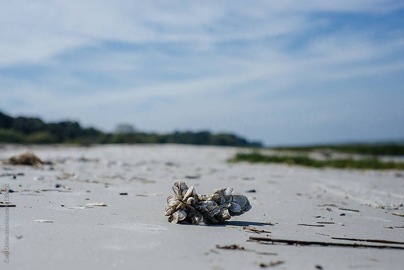 Cluster of oysters washed up on a beach in South Carolina by Cara Dolan for Stocksy United