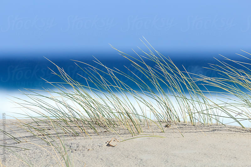 Dune grass on a sand dune. Australia. by John White for Stocksy United