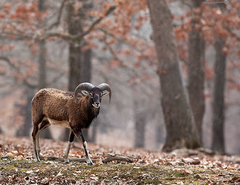Mouflon Sheep in the Woods by Brandon Alms for Stocksy United
