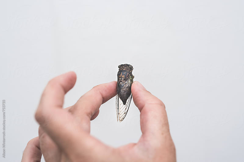 A Person Holding A Dead Cicada  by Alison Winterroth for Stocksy United