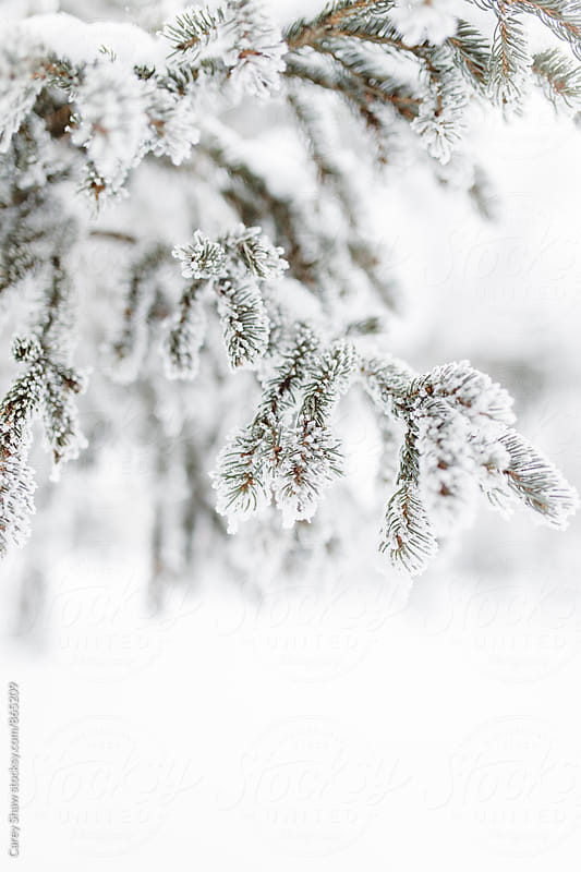Detail of frost covered evergreen tree in winter by Carey Shaw for Stocksy United