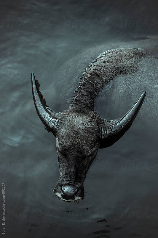 Water buffalo cooling off in a river  by Søren Egeberg Photography for Stocksy United