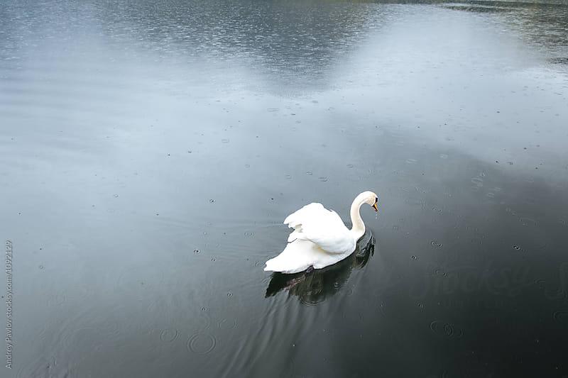 White swan floating on lake by Andrey Pavlov for Stocksy United