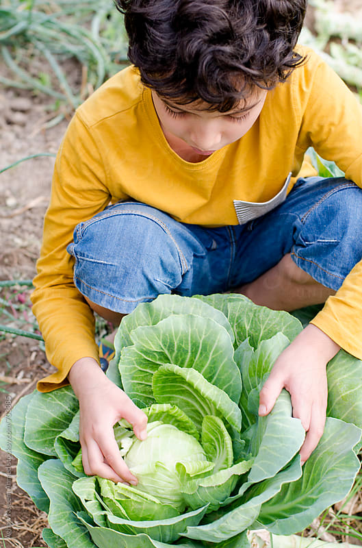 A young boy working in a  farm , plucking a fresh  Cabbage by Agha Waseem Ahmed for Stocksy United