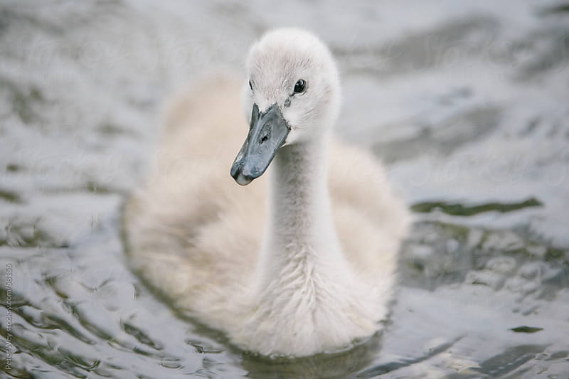 Baby swan  by Peter Wey for Stocksy United