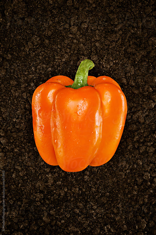 Organic Orange Pepper :Fresh picked natural vegetable in soil by Ania Boniecka for Stocksy United
