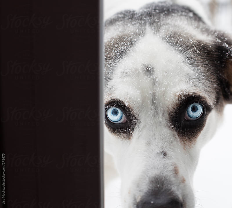 snowy blue eyed dog staring through door by Lisa MacIntosh for Stocksy United