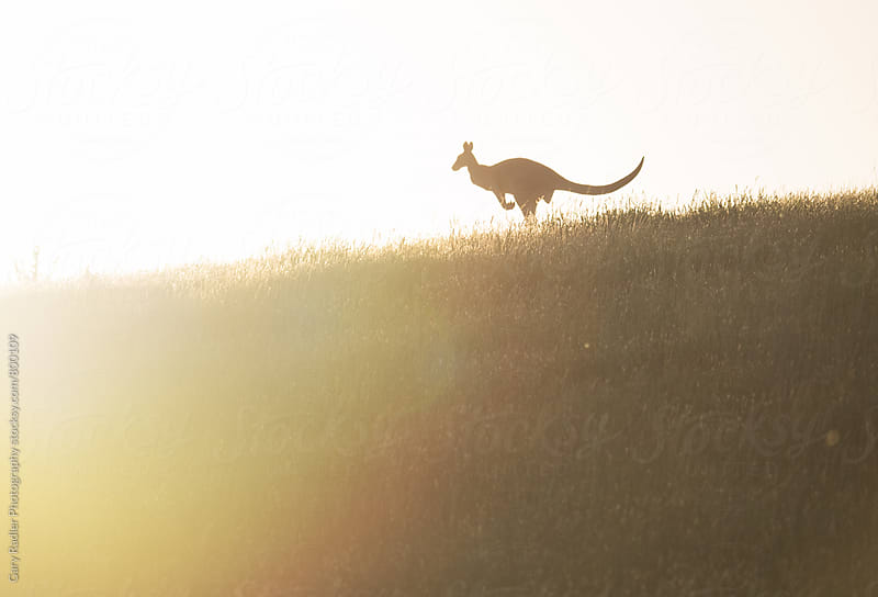 Kangaroo on top of a Hill by Gary Radler Photography for Stocksy United