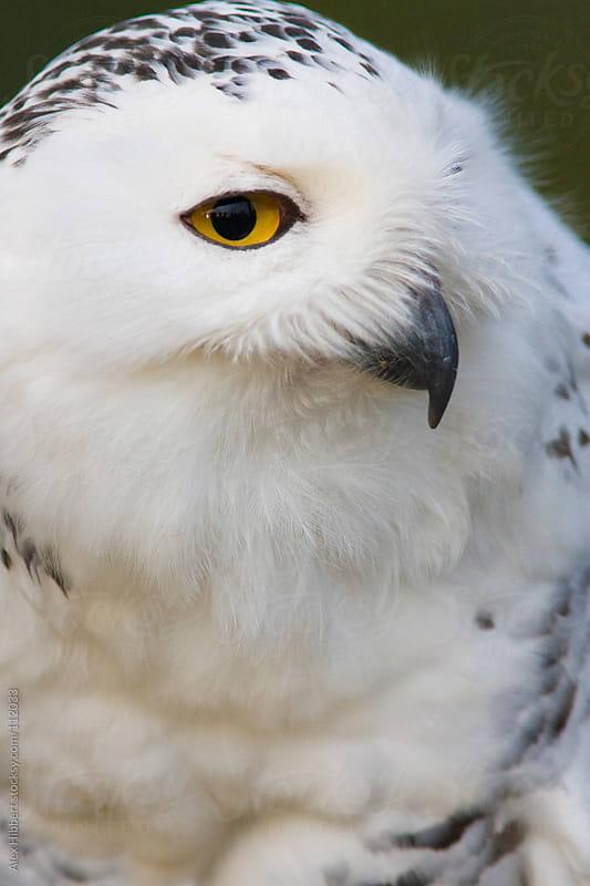 Snowy Owl by Alex Hibbert for Stocksy United