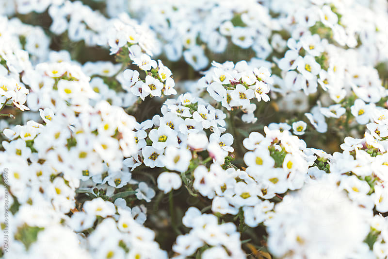 Group of small white flowers by ACALU Studio for Stocksy United