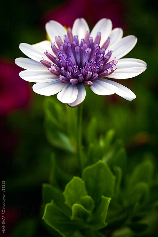 purple and white flower by ALAN SHAPIRO for Stocksy United