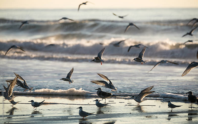 Shore birds flying in group on ocean beach by Matthew Spaulding for Stocksy United
