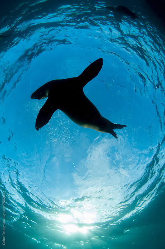 Playful galapagos sea lion silhouette by Caine Delacy for Stocksy United