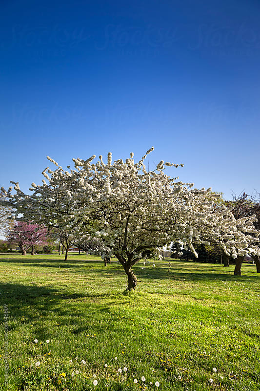 White Flowering Cherry Blossom Tree in a Park by Brandon Alms for Stocksy United
