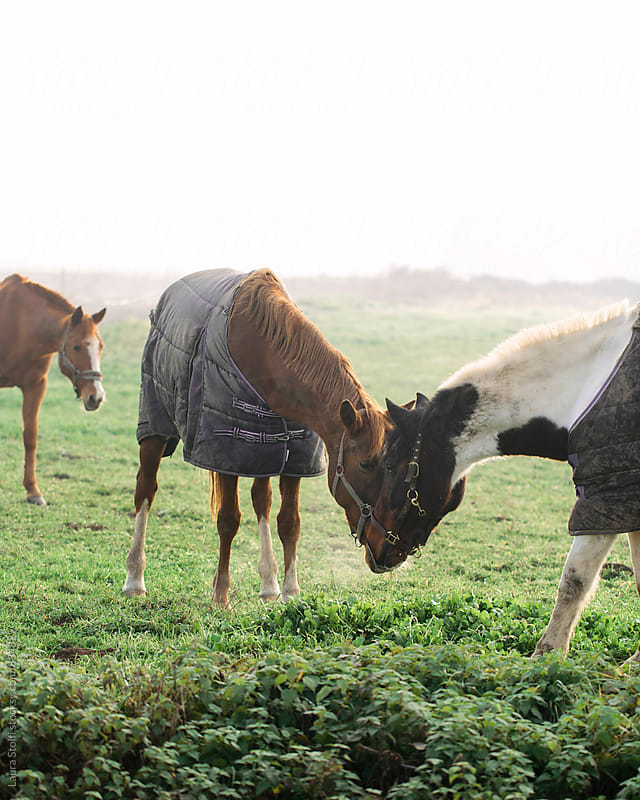 Two horses wearing caparisons forehead to forehead in misty field by Laura Stolfi for Stocksy United