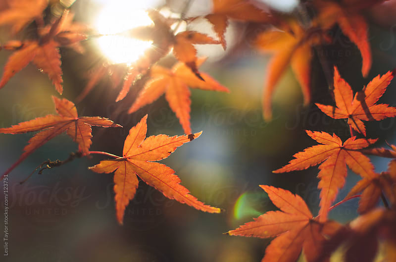 Orange Autumn Leaves by Leslie Taylor for Stocksy United