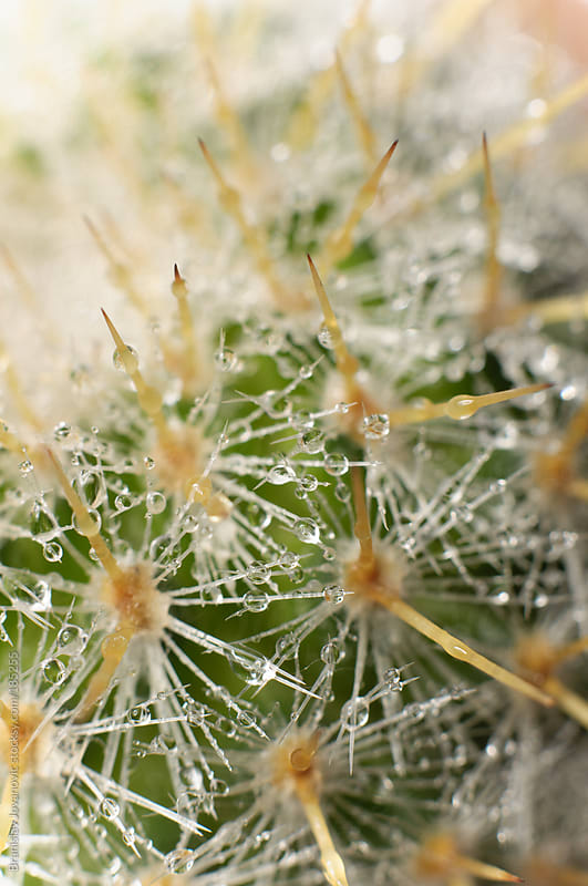 Macro shoot of a cactus by Branislav Jovanovic for Stocksy United