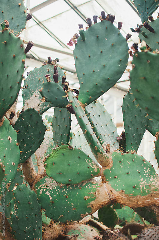 Various species of Cacti in a greenhouse by Chelsea Victoria for Stocksy United