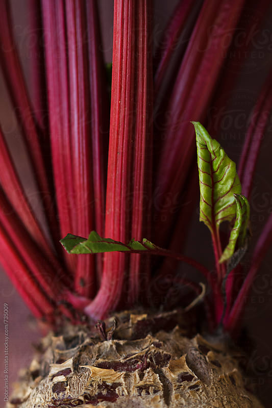 Beetroot (close-up) by Dobránska Renáta for Stocksy United
