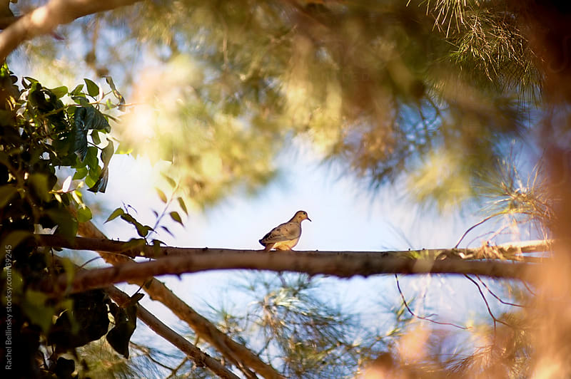Dove sits on branch in a sunlit tree by Rachel Bellinsky for Stocksy United