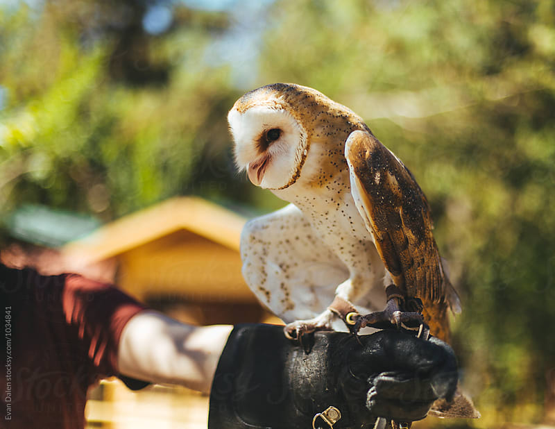 Barn Owl Perched on Arm by Evan Dalen for Stocksy United