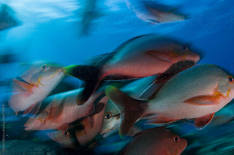 A school of snapper swimming in a school with motion blur by Caine Delacy for Stocksy United