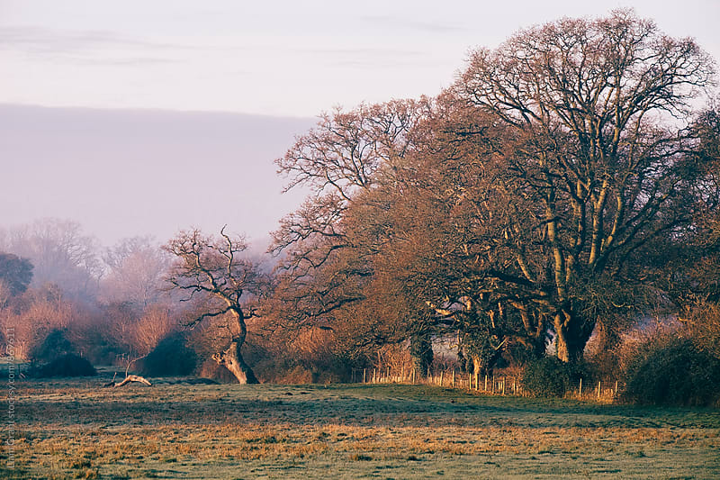 Trees basked in early morning sunlight. Hilborough, Norfolk, UK. by Liam Grant for Stocksy United