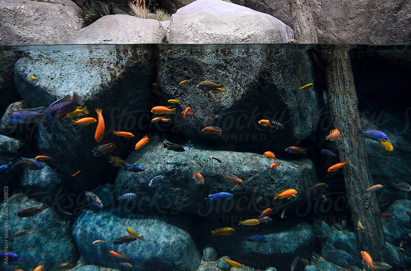 Colorful coral fish and a water line showing bit of rocks above the water  by Alice Nerr for Stocksy United