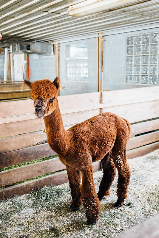 An alpaca or llama standing in a barn stall. by J Danielle Wehunt for Stocksy United