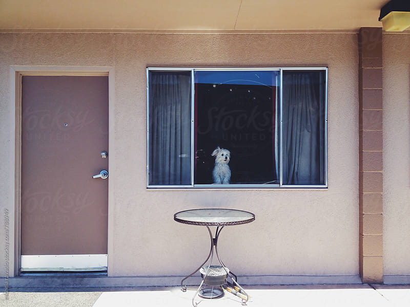 Little white dog at the window by michela ravasio for Stocksy United