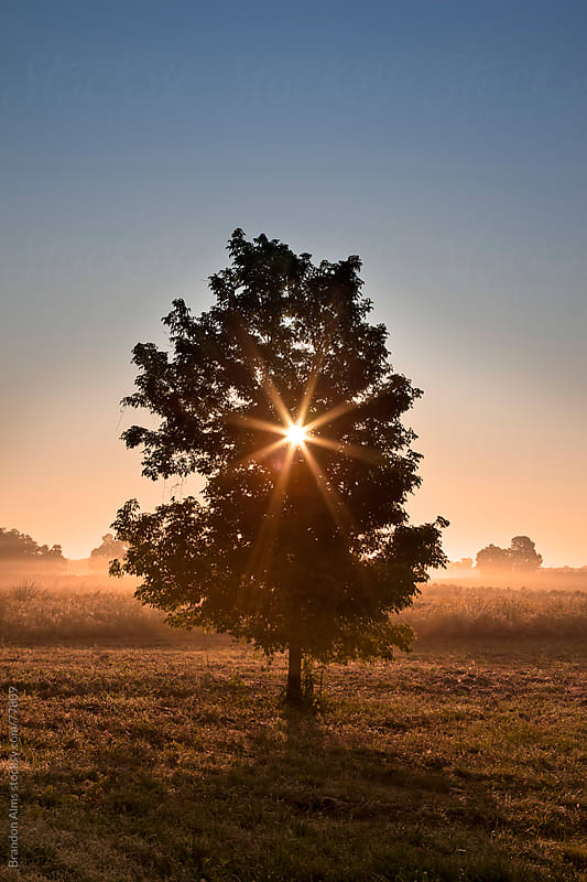 Tree at Sunrise in Front of a Foggy Field of Wildflowers by Brandon Alms for Stocksy United