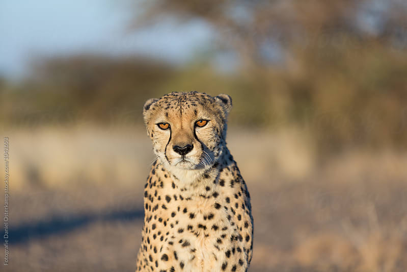 Cheetah (Acinonyx jubatus) - close up looking into camera by Fotografie Daniel Osterkamp for Stocksy United